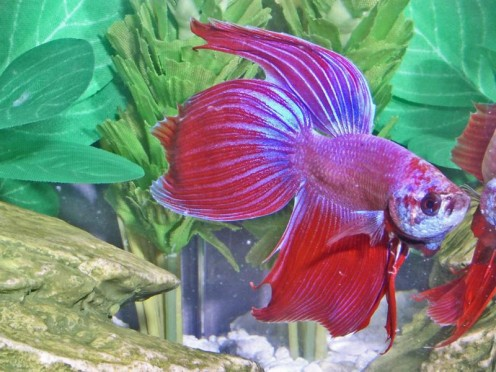 Betta fish names for Beta fish names