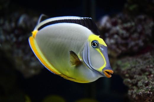 tropical fish species review marine fish 520x347