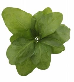 """Fresh Spinach Leaves Rosette Isolated On White Background"" by smarnad"