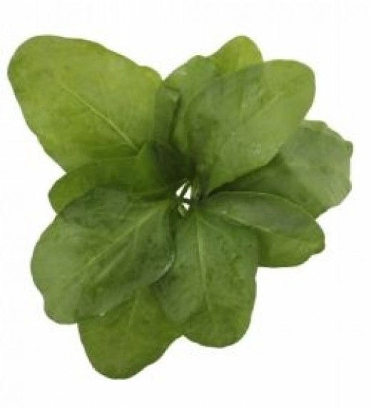 """""""Fresh Spinach Leaves Rosette Isolated On White Background"""" by smarnad"""