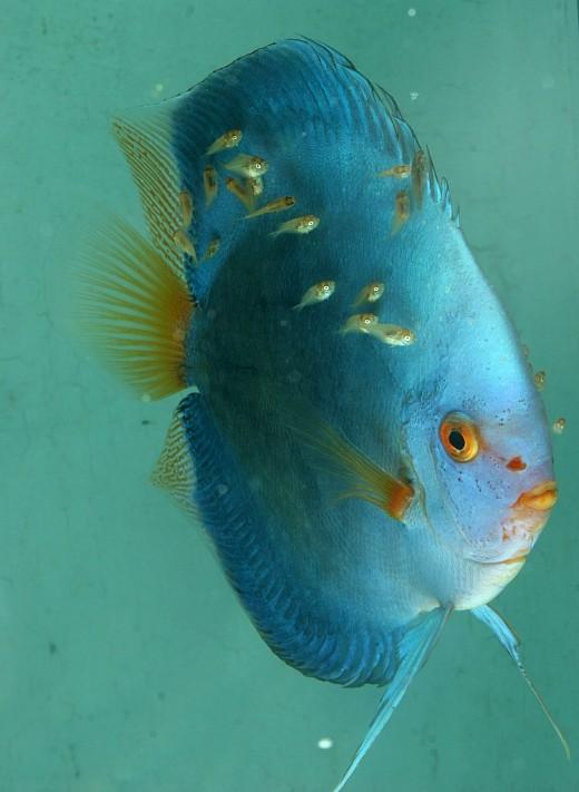 Fish hits photos discus fish photo for Discus fish types