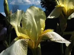 Flowering Iris Bulb