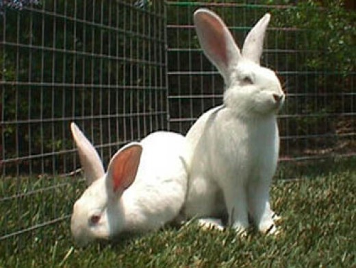 Bunny Breed Guide: New Zealand White Rabbit | PetHelpful