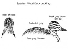 Australian Wood Duck - Duckling