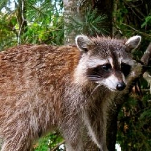 Mom Raccoon Visiting Us