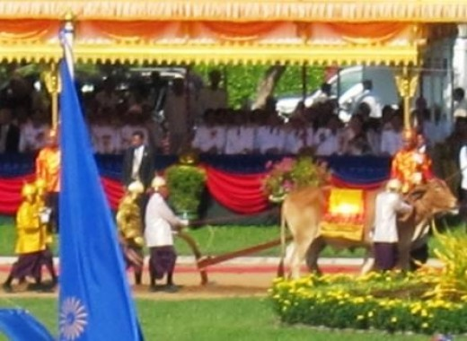 The royal oxen at the Ploughing Ceremony in Cambodia