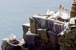 Northern Gannet at Cape  St. Mary's Seabird Ecological Reserve