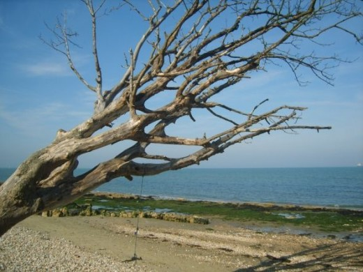 Tree on beach - Isle of Wight