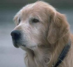 Ageing Golden Retriever