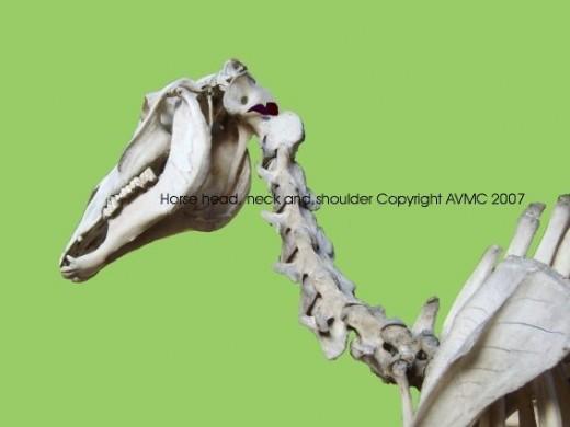 horse neck vertebrae