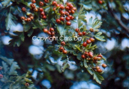 Hawthorn berry - important traditional heart medicine
