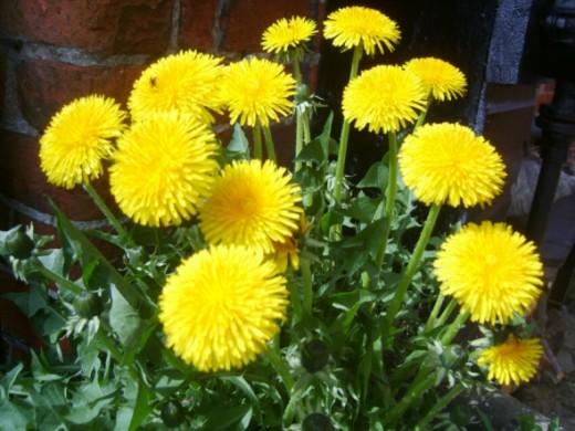 Dandelion - nature's diuretic and wild food
