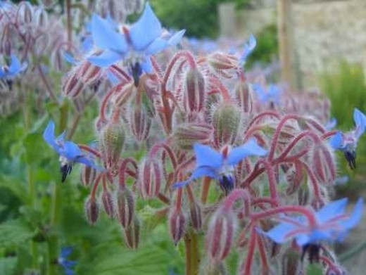 Borage - culinary herb - the edible flowers can adorn a salad - traditionally used as an anti-inflammatory and expectorant medicine - also used to regulate menstruation