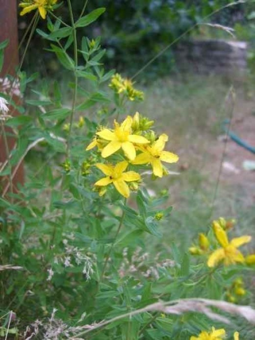 St John's Wort - much used in modern times as an antidepressant