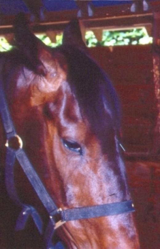 Acupuncture horse headshaking