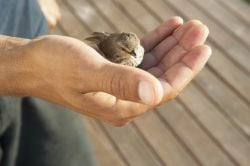 Kind, gentle hands holding tiny sparrow