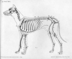 Dog Skeleton from Wikipedia