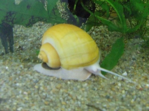 apple snail invasive golden apple snail freshwater apple snails ...