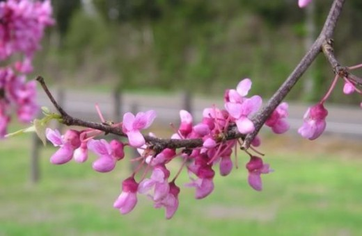 Redbud Blooms Cercis candensis