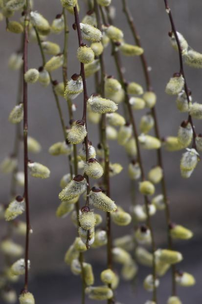 Dress up your home with fresh pussy willows this spring. *Photo courtesy of karpati/morguefile