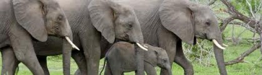 Elephants with their tusks, a beautiful sight, this is where ivory belongs!Photo credit animalszooguru.blogspot.nl