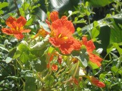 Nasturtium plants
