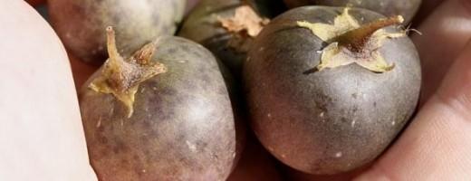 Potato fruit, photo courtesy of Dr. David Midgley