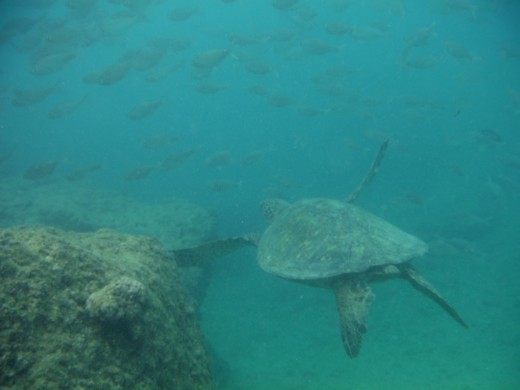Green sea turtle on Oahu.