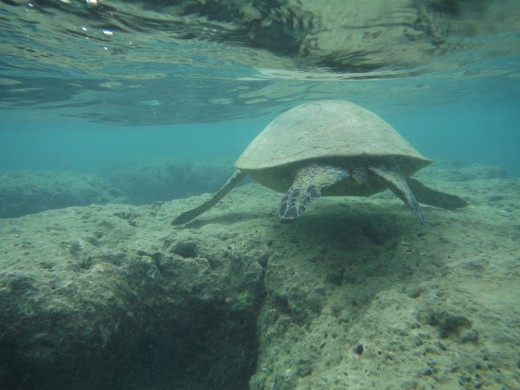 Green Sea turtle at Hanauma.