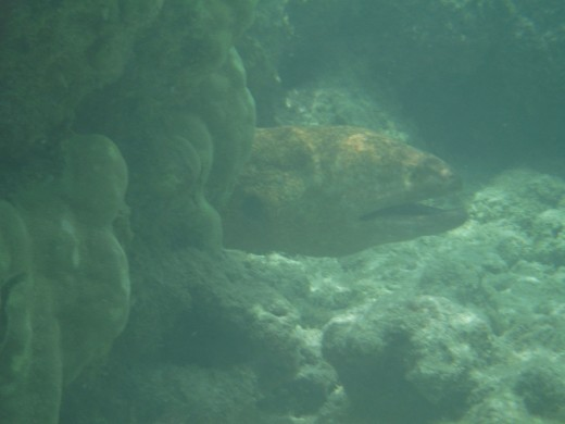 Moray eel.  Ugly.