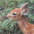 How I Saved my Garden - Best Deer Deterrent Ever!