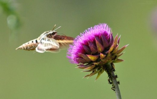 "Hawk Moth ""Hummingbird Moth"""