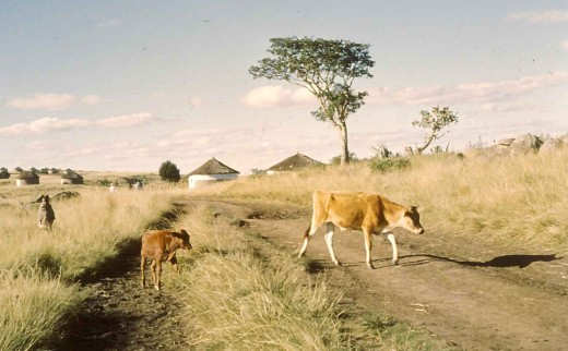 Calves crossing the old road