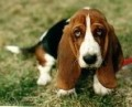 Help for Canine Ear Problems- Infections, Cleaning, Treating & Advice