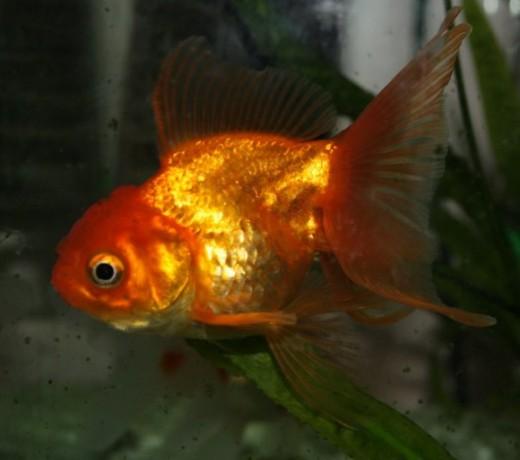 goldfish. Goldfish are notoriously