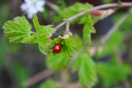 ladybug on a leaf public domain