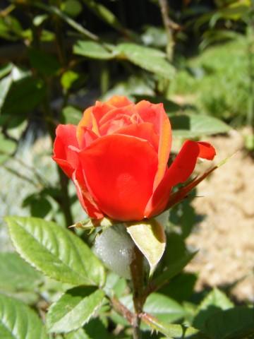 Red rose public domain