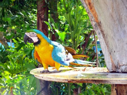 blue parrot public domain