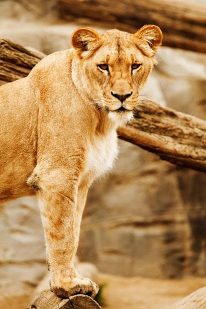 lioness public domain