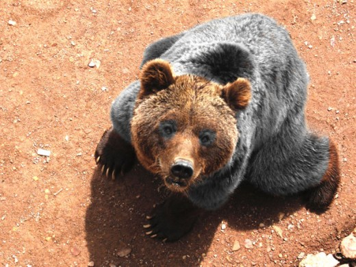 brown bear public domain