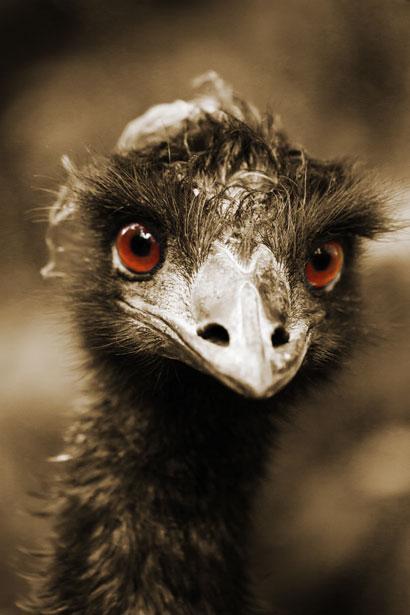 ostrich public domain
