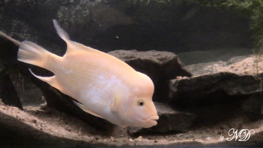 Devil: Size upto 40cms. Min tank size: a 4footer for an adult male is the minumum, as they are highly aggressive(ofcourse towards other fishes  only)