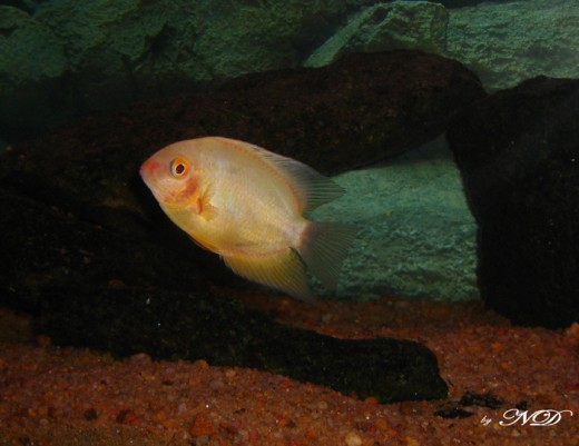 Severum: Size upto 25cms. Min tank size: a three foot tank would suffice for a pair