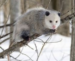 Possums as Pets