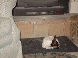 Daisy sleeps on the fire rug