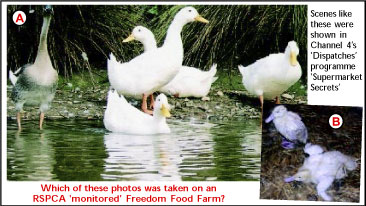 Healthy ducks and those on a RSPCA monitored farm
