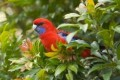Rosellas in my garden quilt