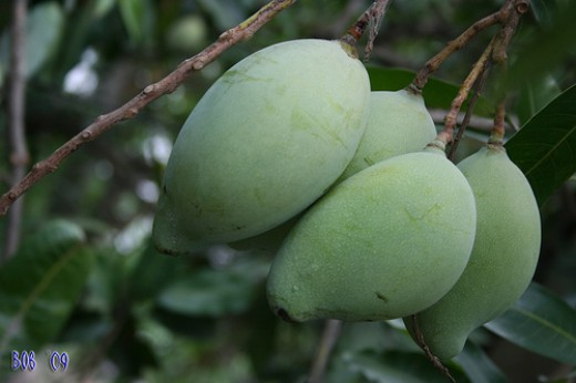 Unripe mangoes (photo courtesy by hairocker from Flickr).