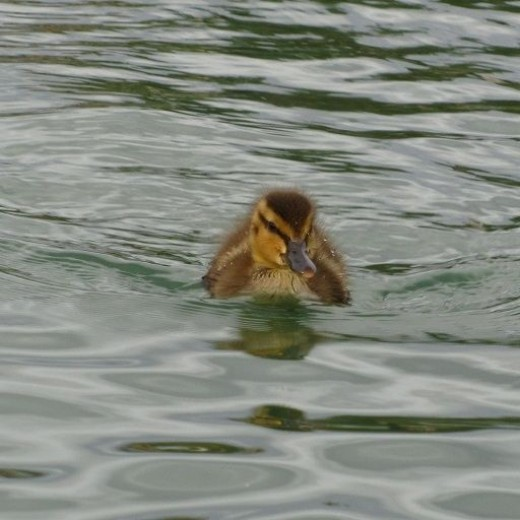 Turbo swimming to me!!!! ... ok well, mama duck is somewhere close.