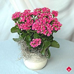 Pink flowering Kalanchoe plant on pots